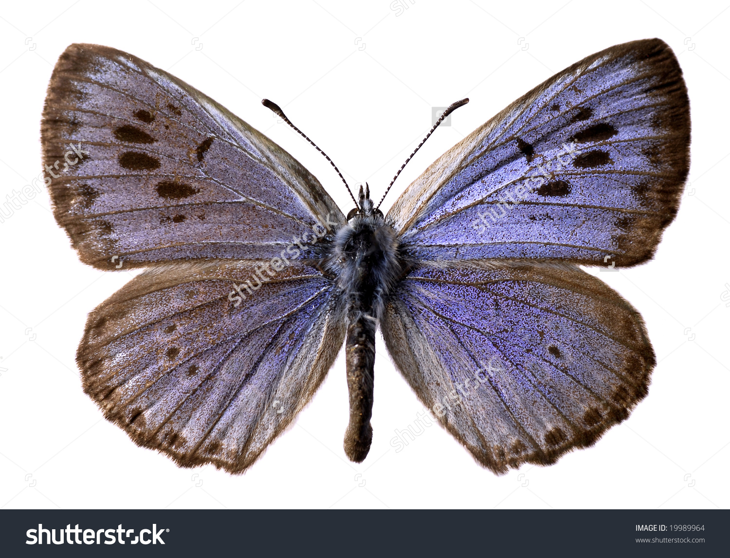 Isolated Large Blue Butterfly Maculinea Arion Stock Illustration.