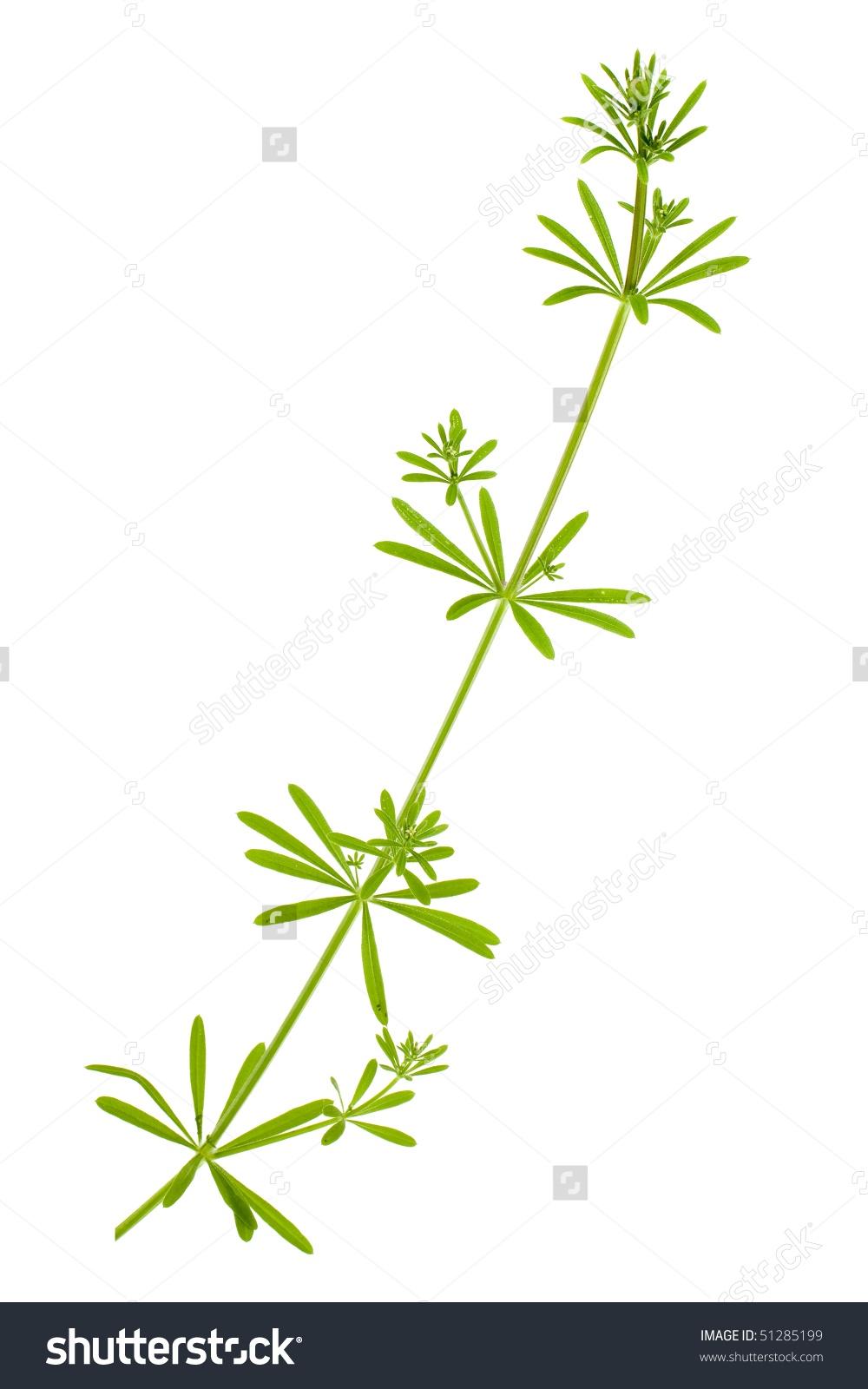 Madder Plant Rubia Tinctorum Isolated On Stock Photo 51285199.