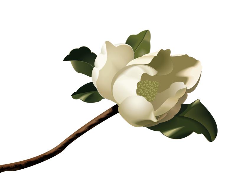 Best Magnolia Clipart #16534.