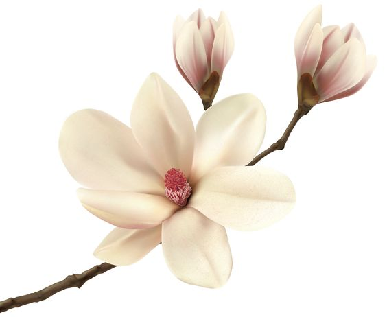 White Spring Magnolia Branch PNG Clip Art Image.