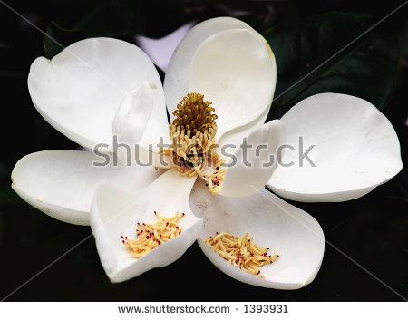 Southern Magnolia Tree Stock Photos, Royalty.