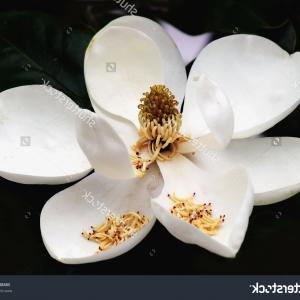 Top Magnolia Flower Clip Art Illustration.