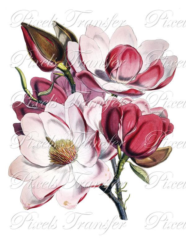 Magnolia clipart.