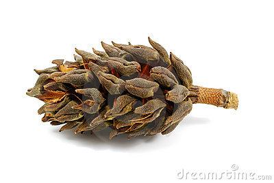 Magnolia Tree Cone Stock Photography.
