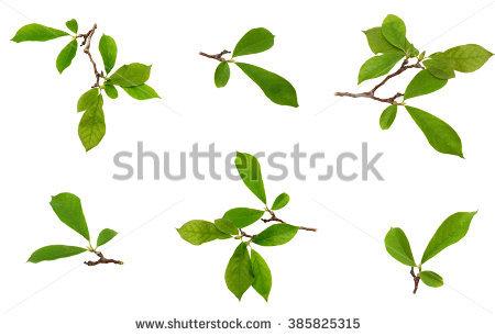 Magnolia Leaf Isolated On A White Background Stock Photo 385825315.