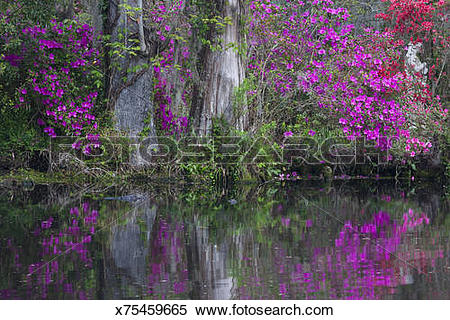 Stock Image of Cypress & Azelea in bloom Magnolia Plantation.