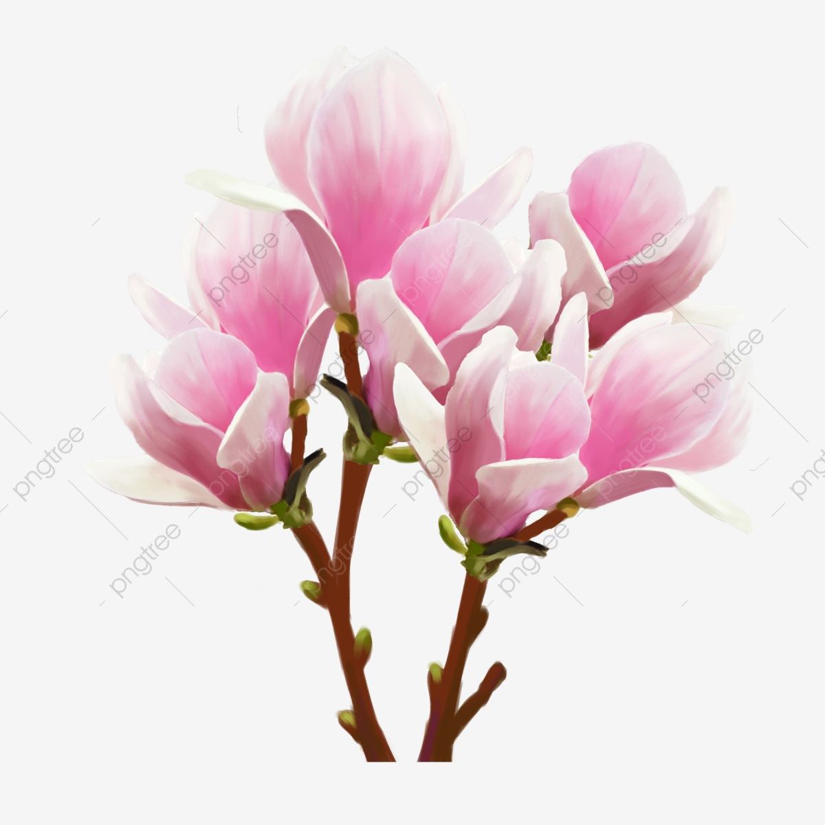 Pink Magnolia Flower White Clump White, Cluster Flower.