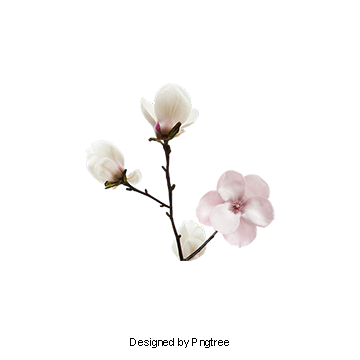 Magnolia PNG Images.