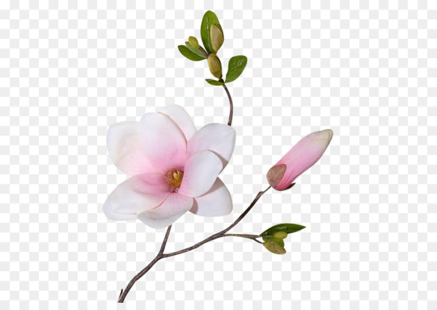 Magnolia Png & Free Magnolia.png Transparent Images #31748.