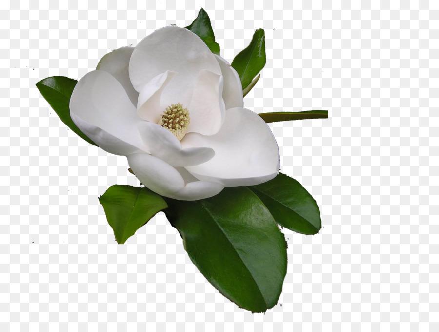 Magnolia Flower png download.