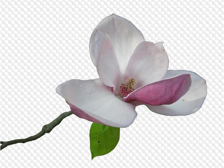 23 PNG, Magnolia on transparent background.