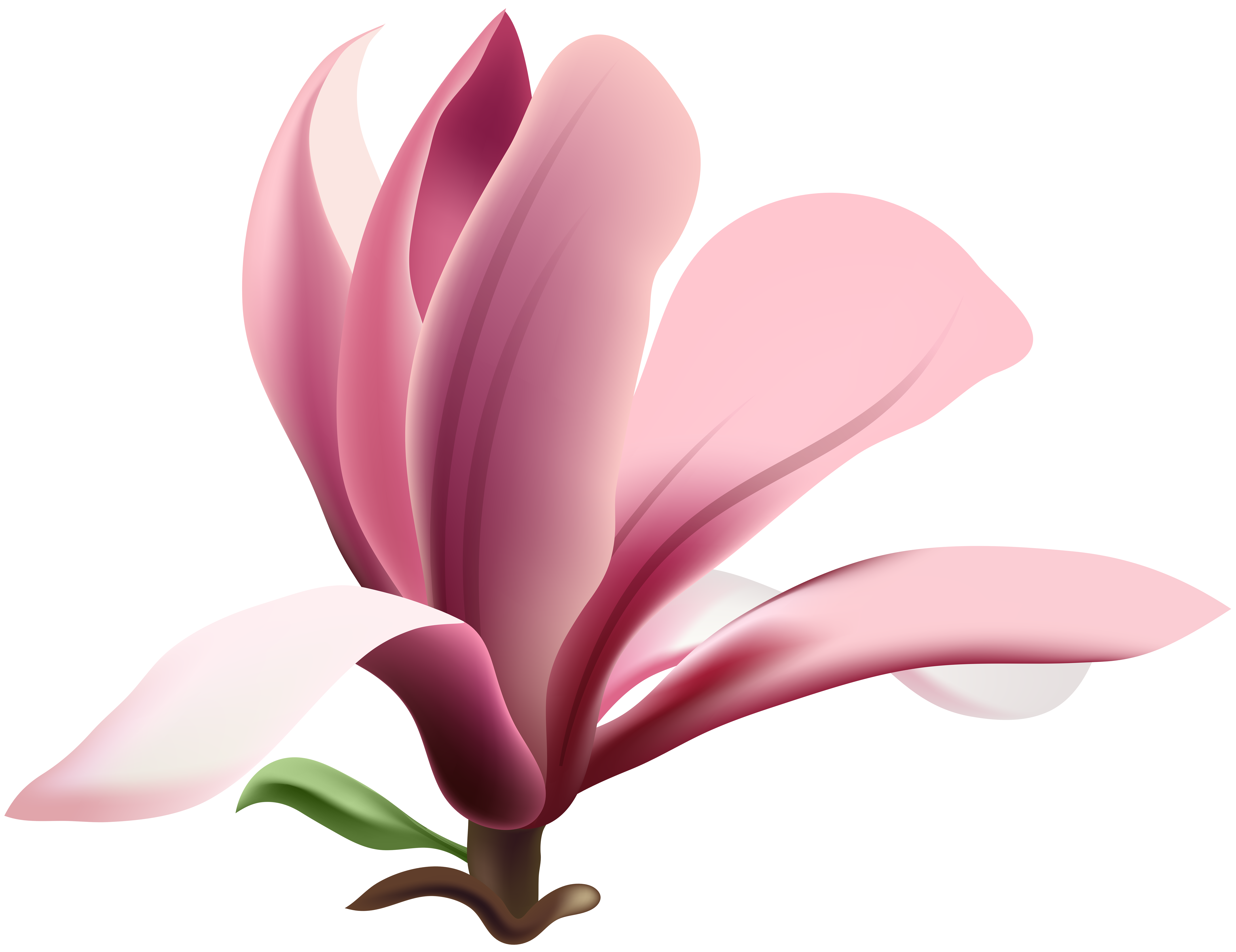 Magnolia Transparent PNG Clip Art Image.