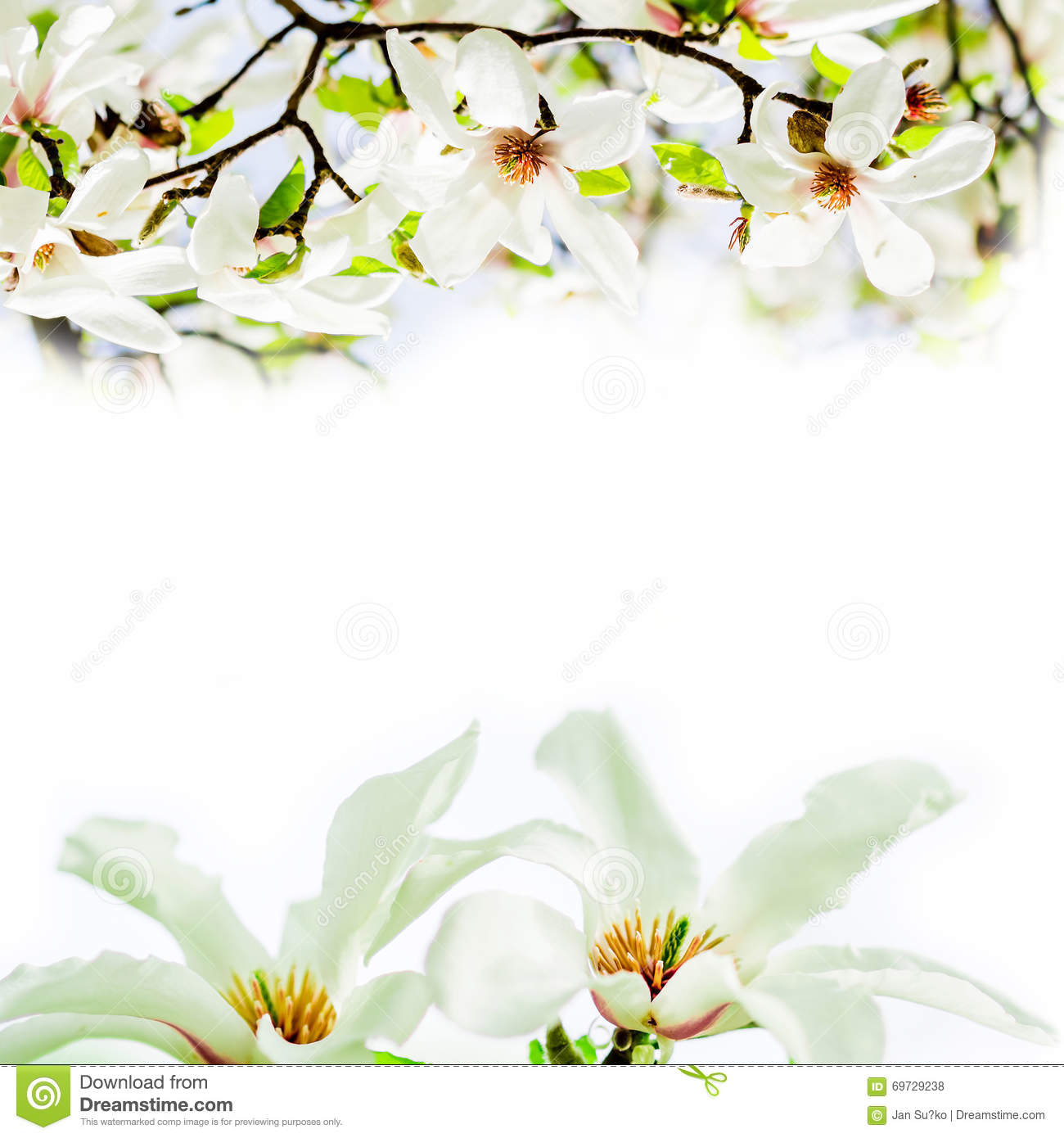 Magnolia Stellata Blossoming Face To Face Stock Photo.