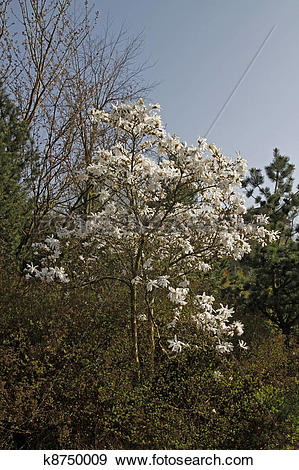 Stock Photograph of Star magnolia, Magnolia stellata k8750009.