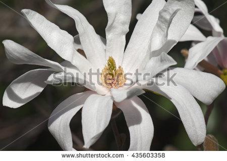 Magnolia Stellata Stock Photos, Royalty.