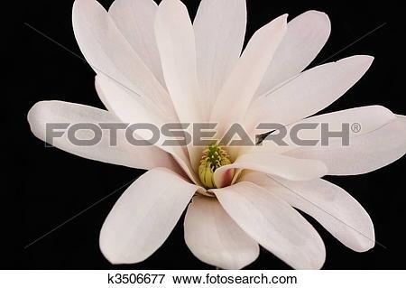 Picture of magnolia stellata k3506677.