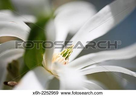 Stock Photograph of white magnolia stellata free flowing and.