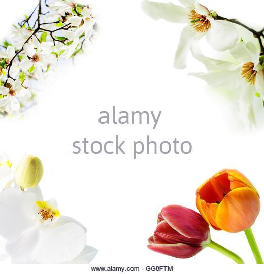 White Tulip Magnolia Stock Photos & White Tulip Magnolia Stock.