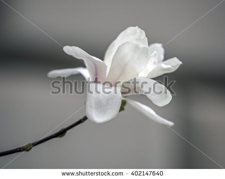 Magnoliaceae Stock Photos, Royalty.
