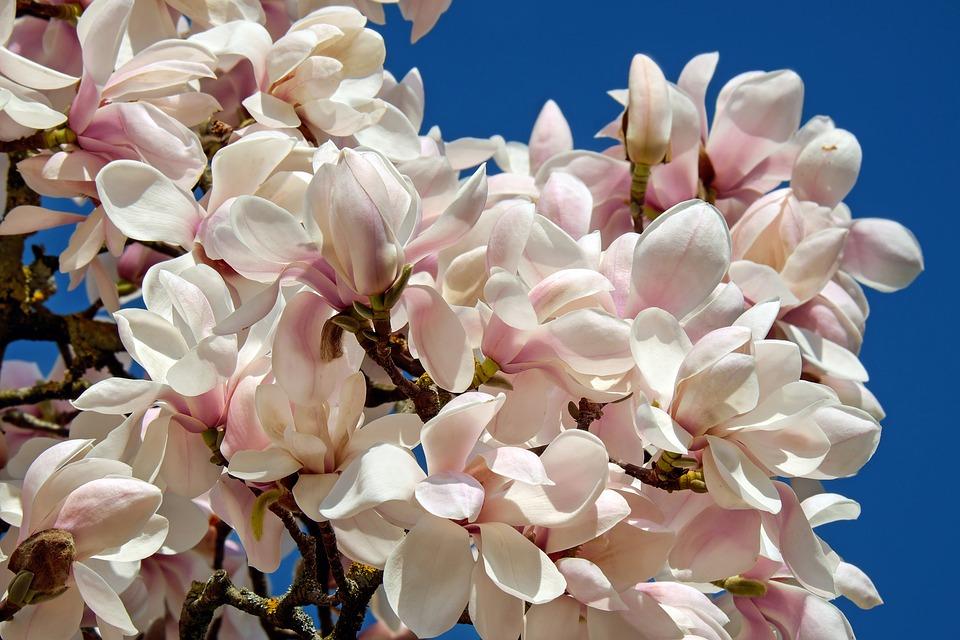 Free photo Tree Magnolia Tulip Magnolia Bush Magnoliengewaechs.