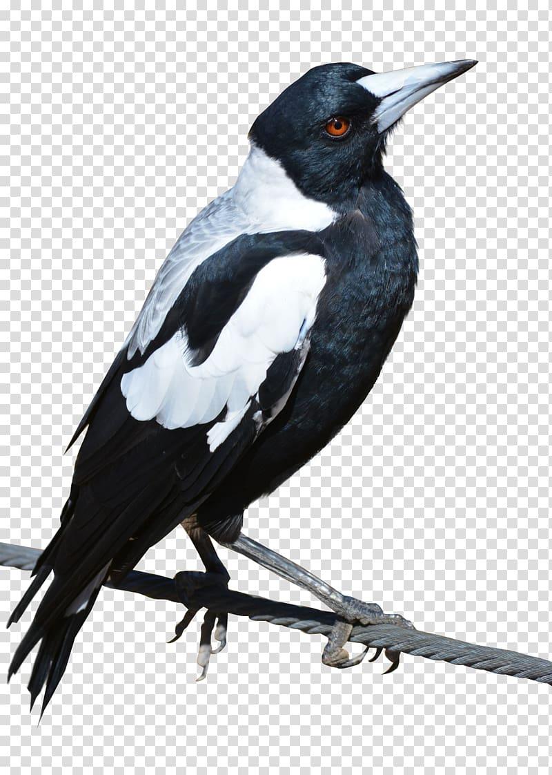 Bird Crows Eurasian magpie, Bird transparent background PNG.