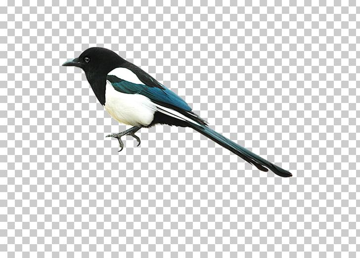 Eurasian Magpie Bird PNG, Clipart, Animals, Autocad Dxf.