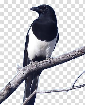 Eurasian Magpie Crows Bird Black.