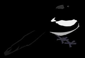 Magpie clip art Free Vector.