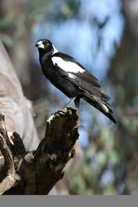 Australian Magpie Clipart.