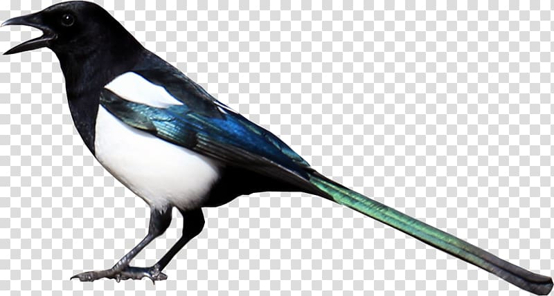 Eurasian Magpie , others transparent background PNG clipart.