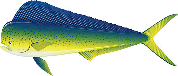 Best Mahi Mahi Illustrations, Royalty.