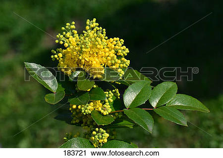 Stock Photography of Oregon Grape, Oregon.