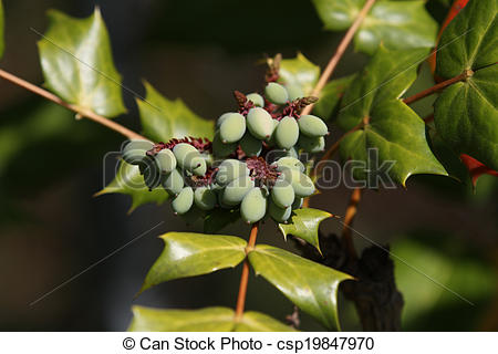 Picture of Oregon Grape Mahonia Aquifolium.
