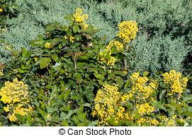 Stock Photo of Mahonia aquifolium evergreen shrubs, the genus.