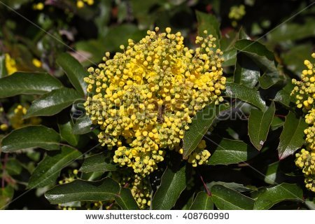 Oregon Grape Flower Stock Photos, Royalty.