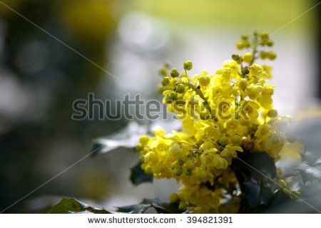 Mahonia Stock Photos, Royalty.