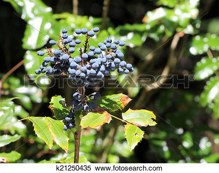 Stock Image of Oregon Grape Berries.