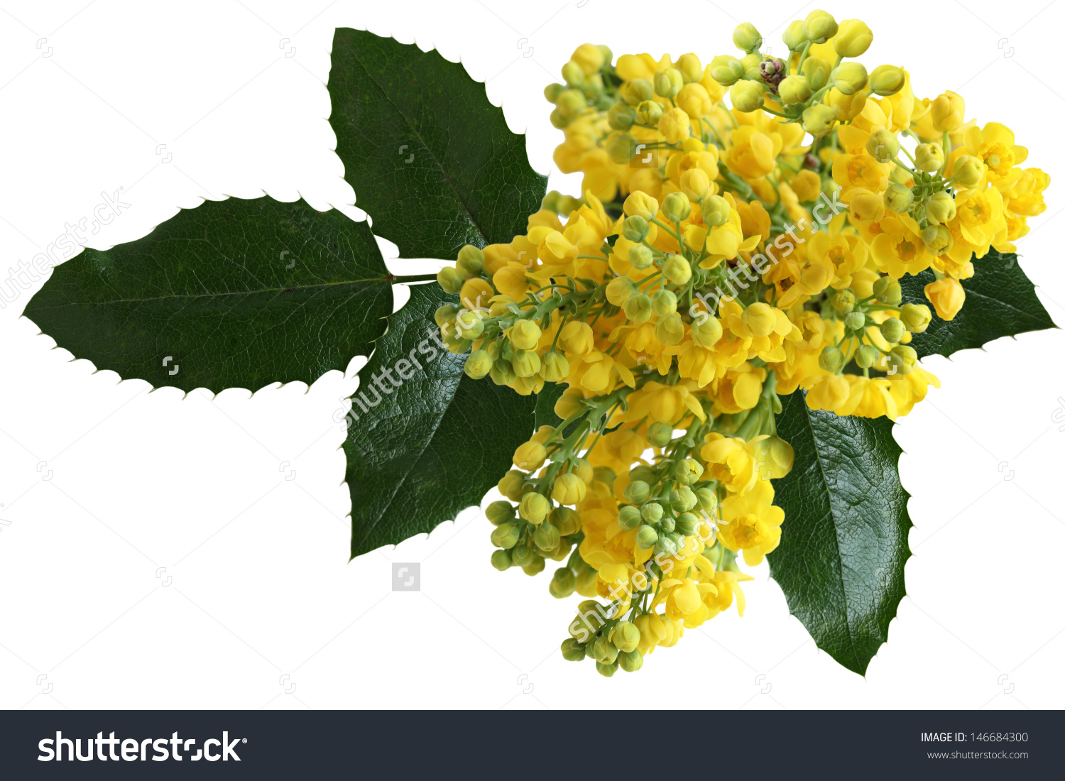 Mahonia Aquifolium Oregongrape Wild Flower Holly Stock Photo.
