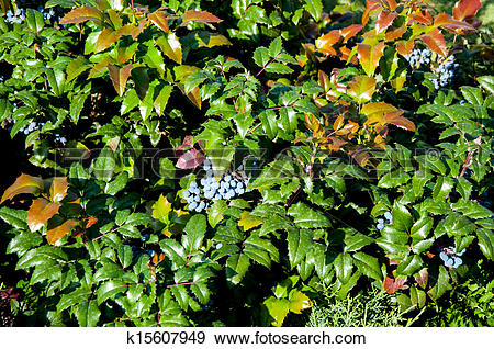 Stock Photograph of Mahonia aquifolium evergreen shrubs, the genus.