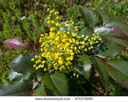 Mahonia Aquifolium Stock Images, Royalty.