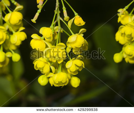 Barberry Flower Stock Photos, Royalty.