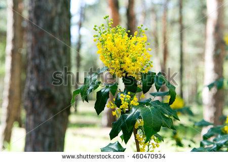 Aquifolium Stock Photos, Royalty.