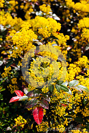 Red Leaves Mahonia Stock Photos, Images, & Pictures.