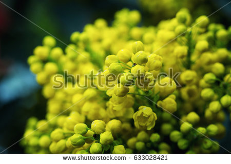 Mahonia Stock Images, Royalty.