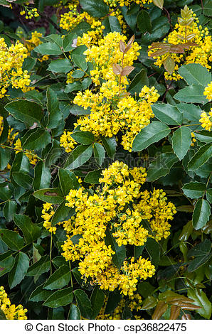 Picture of Small yellow flowers mahonia in spring morning.