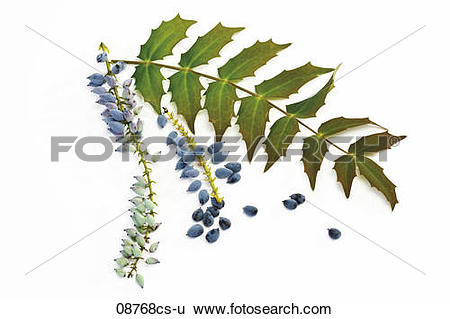 Stock Images of Mahonia flowers ((Mahonia aquifolium), close.