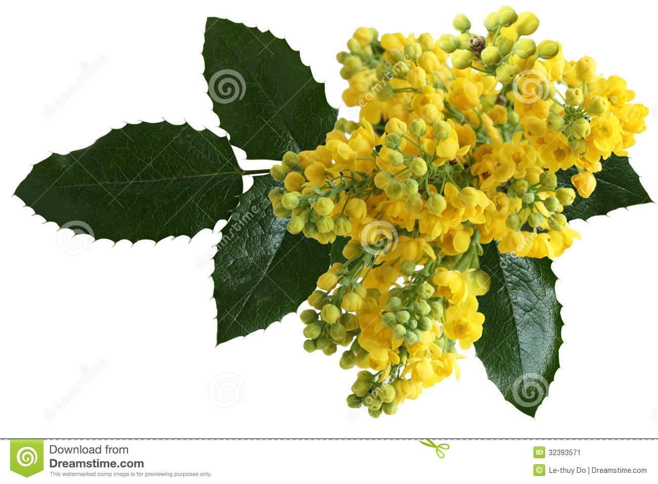 Mahonia Aquifolium Flowers Stock Image.