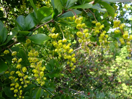 Free photo Berberis Barberry Plant Nature Red Fruits.