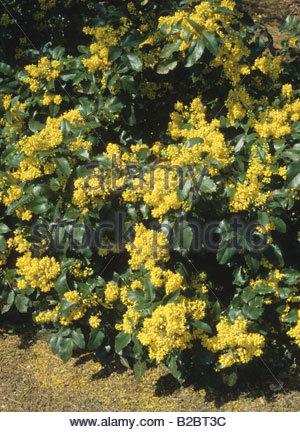 Aquifolium Stock Photos & Aquifolium Stock Images.