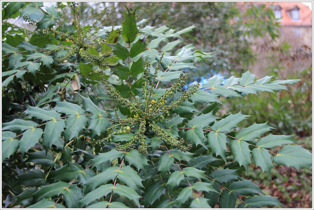 The World's newest photos of berberidaceae and mahonia.